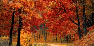 Autumn wood, red-leaves trees and a road